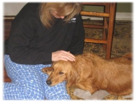 Tully, the first pregnant Golden, learning to trust the gentle touch of a ...